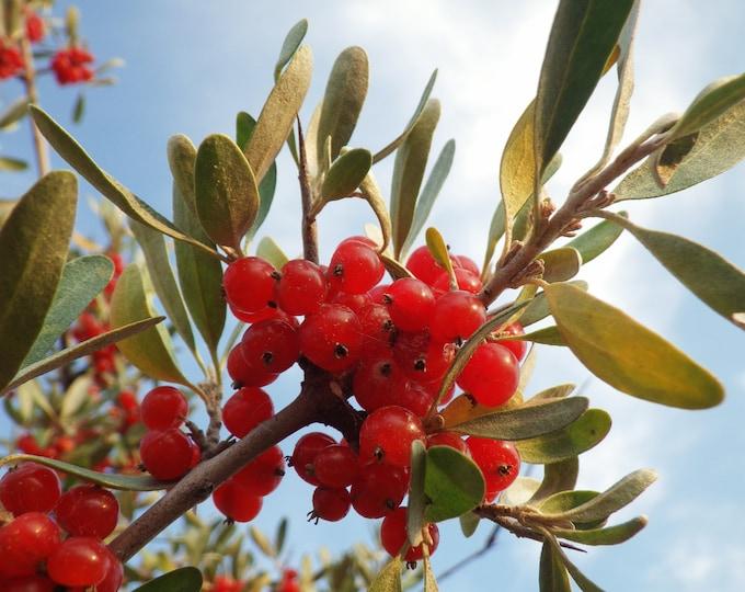 1 Oz Bulk SILVER BUFFALOBERRY Shepherdia Argentea Red Fruit Shrub - 2,150 Seeds