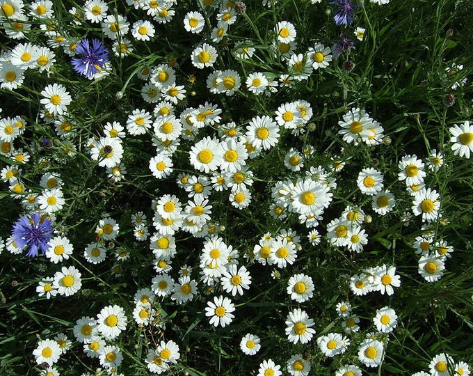 100 White DWARF CREEPING DAISY Chrysanthemum Paludosum Flower Seeds