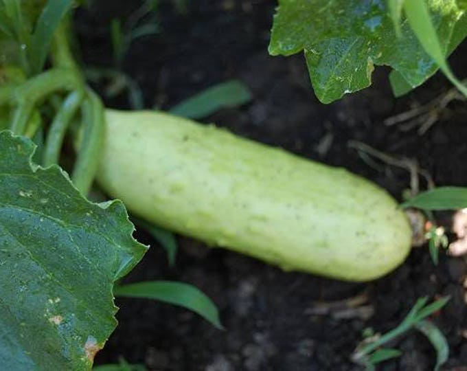50 WHITE WONDER CUCUMBER Fruit Cucumis Sativus Seeds