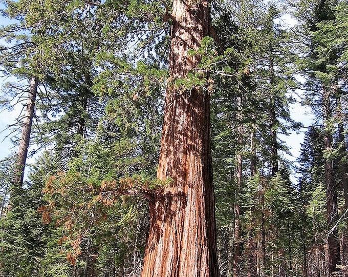 40 GIANT SEQUOIA Sequoiadendron Giganteum Sierra Redwood Tree Seeds * Flat Ship