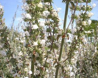 75 Sacred WHITE SAGE Salvia Apiana Shrub Silver Folliage Native Smudge Seeds