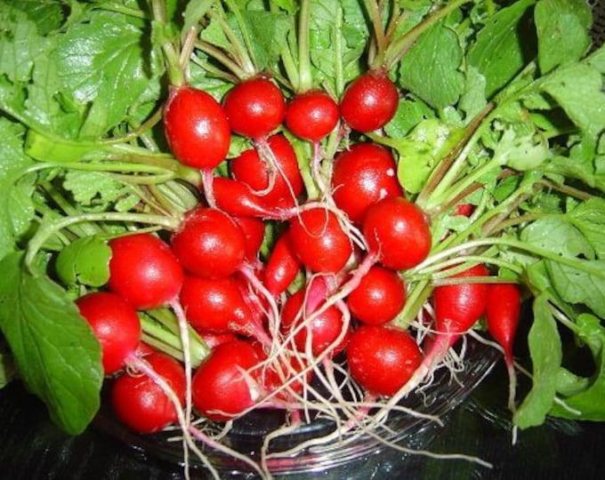 500 SPARKLER WHITE TIP RADISH Sweet European Red Raphanus Sativus Vegetable Seed