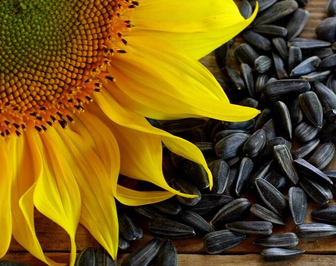 100 BLACK OIL SUNFLOWER Helianthus Annuus Yellow Hummingbird Bird Flower Seeds