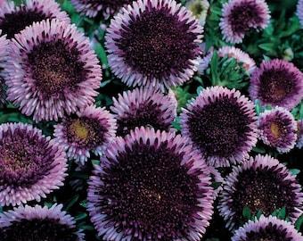 50 BLUE MOON ASTER Callistephus Pompon Double Flower Seeds *Comb S/H