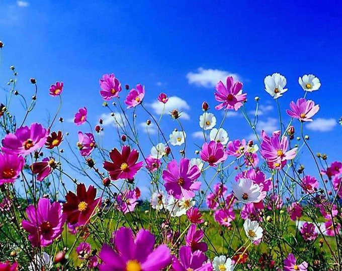 350 COSMOS SENSATION MIX Mixed Colors Cosmos Bipinnatus Flower Seeds