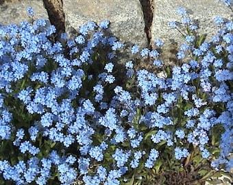 500 Blue FORGET ME NOT Myosotis Alpestris Seeds