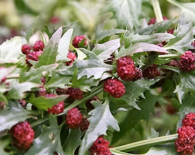100 STRAWBERRY STICKS / SPINACH Chenopodium Foliosum Fruit Berry Seeds *Flat Shipping