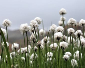 25 TAWNY COTTONGRASS Flower Seeds Eriophorum Virginicum Hare's Tail Cotton Grass Seeds