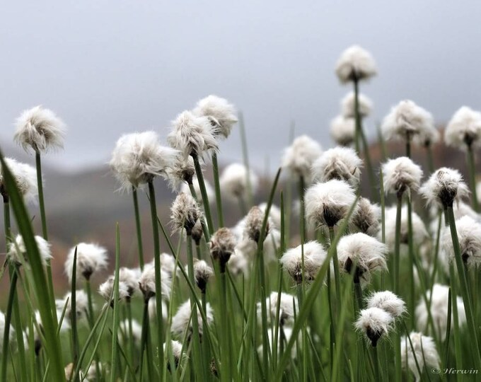 25 TAWNY COTTONGRASS Flower Seeds Eriophorum Virginicum Hare's Tail Cotton Grass Seeds