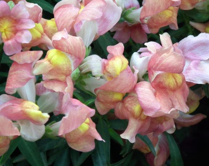 500 APPLE BLOSSOM SNAPDRAGON Antirrhinum Majus Appleblossom Pink Coral White Yellow Flower Seeds