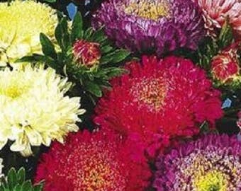 1000 POWDER PUFF ASTER Mix Callistephus Chinensis Flower Seeds *Flat Shipping