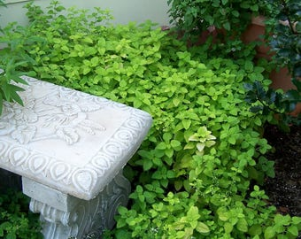 1500 LEMON BALM Melissa Officinalis Lemonbalm Fragrant Herb / Flower Seeds  *Flat Shipping