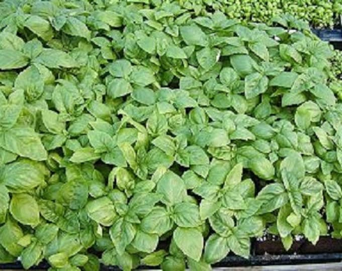 1000 Italian LARGE LEAF BASIL Ocimum Basilicum Herb Flower Seeds