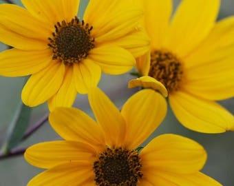 100 SWAMP SUNFLOWER (Narrowleaf Sunflower) Helianthus Angustifolius Flower Seeds