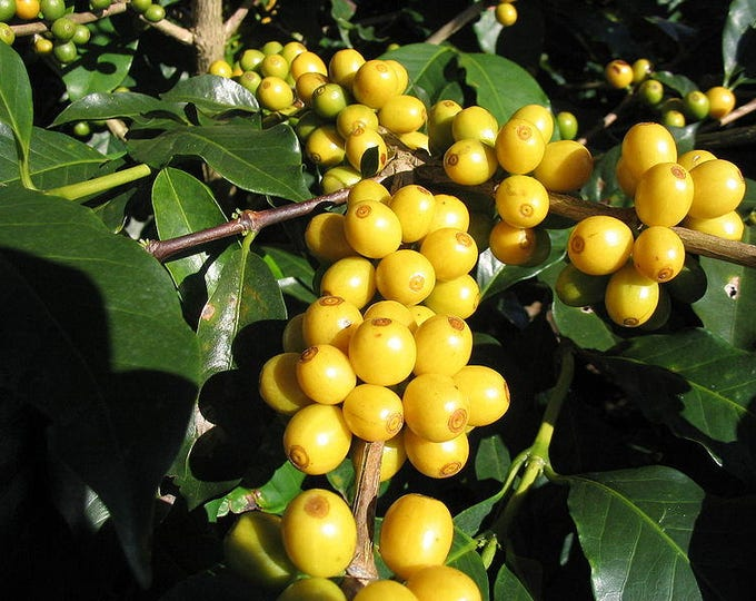 15 ARABICA COFFEE Tree Shrub Seeds - Grow your own coffee! *Combined S/H