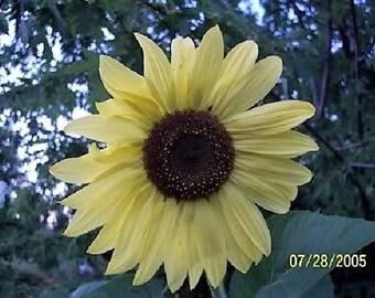 50 LEMON QUEEN SUNFLOWER Helianthus Annuus Flower Seeds
