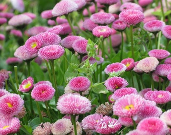 100 PINK ENGLISH DAISY Bellis Perennis Tasso Pink Double Flower Seeds