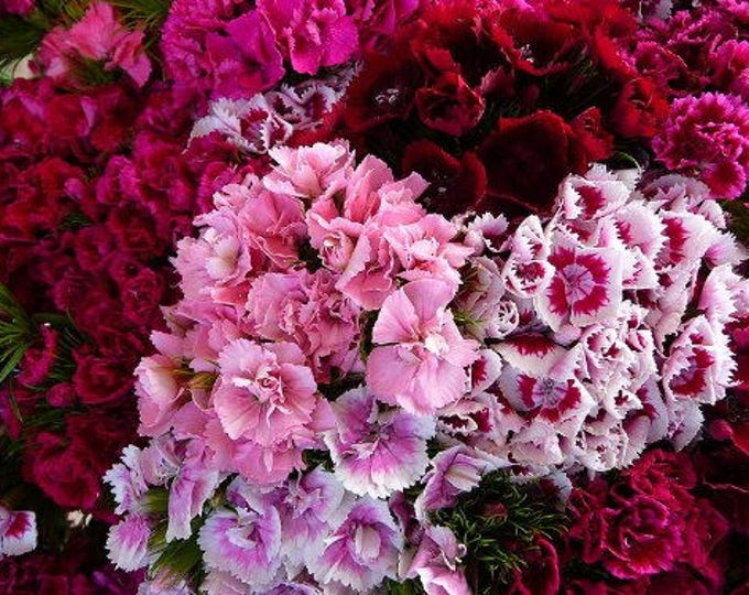 500 MIXED Colors SWEET WILLIAM Dianthus Barbatus Flower Seeds