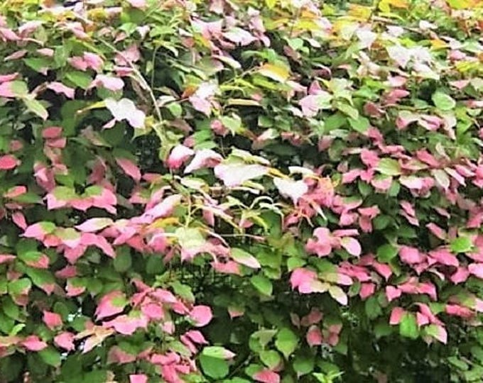 20 Variegated ARCTIC BEAUTY KIWI Fruit Edible Actinidia Kolomikta Vine Seeds