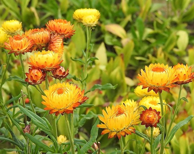 50 YELLOW DOUBLE STRAWFLOWER Helichrysum Bracteatum Flower Seeds *Comb S/H