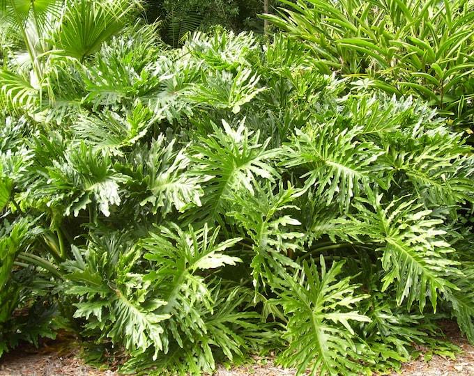 15 Lacy TREE PHILODENDRON Split Leaf Cut-leaf Selloum House Plant Seeds
