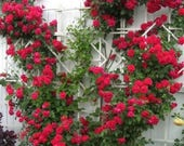 5 RED CLIMBING ROSE Rosa Bush Vine Climber Fragrant Butterfly Flower Seeds