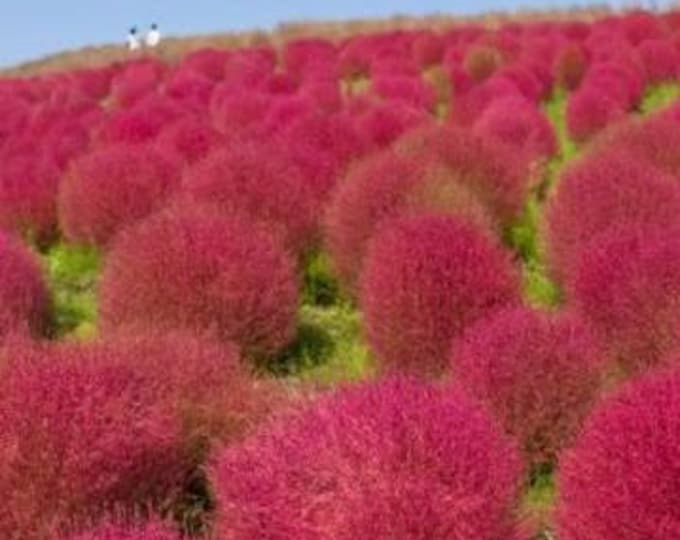 100 KOCHIA (Broom Cypress / Burning Bush / Summer Cypress / Mexican Fireweed) Kochia Scoparia Shrub Bush Seeds