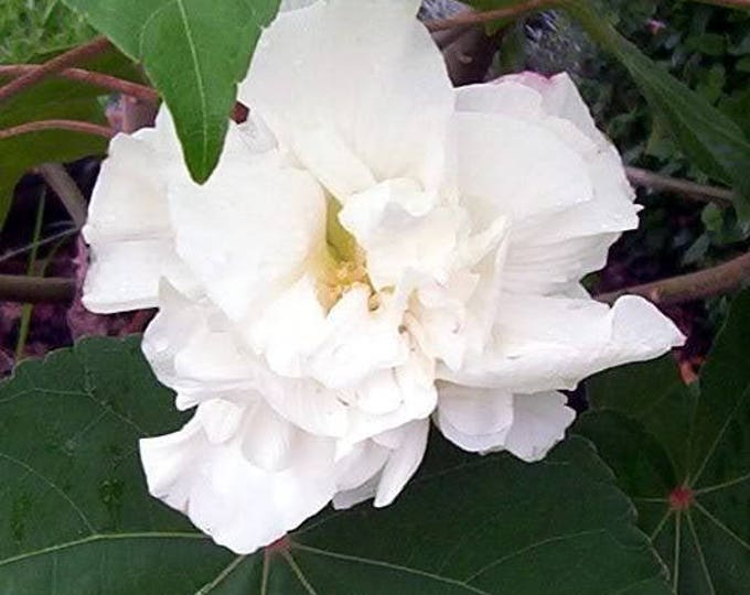 50 White Double ROSE Of SHARON HIBISCUS Syriacus Flower Tree Bush Seeds *CombS/H