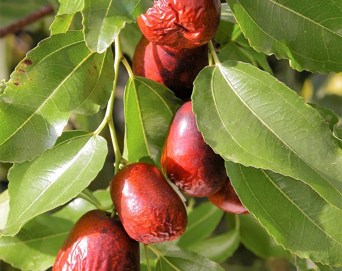 20 ASIAN DATE Jujube Ziziphus Spinosa Common Chinese Tsao Red Fruit Tree Seeds