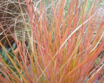 50 PHEASANT TAILS GRASS Feather Reed New Zealand Wind Stipa Arundinacea syn Anemanthele Lessoniana Ornamental Grass Seeds