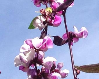 10 Ruby Moon HYACINTH BEAN Lablab Purpureus Blue Purple White Flower Ornamental Vine Seeds