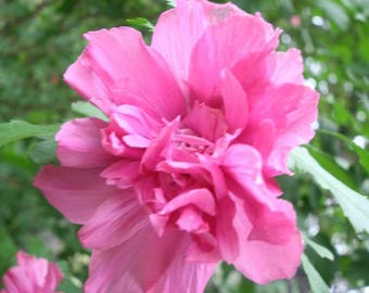 50 Dark Pink Double ROSE Of SHARON HIBISCUS Syriacus Flower Tree Bush Seeds