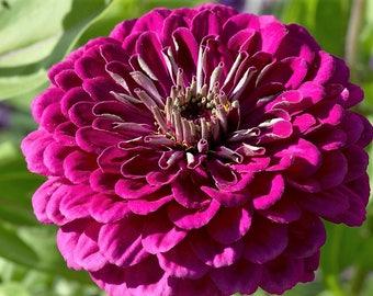 250 VIOLET QUEEN ZINNIA Elegans Purple Double Dahlia Heirloom Flower Seeds