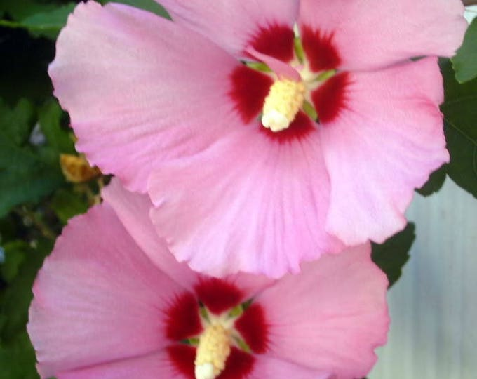 50 Dark Pink ROSE Of SHARON HIBISCUS Syriacus Flower Tree Bush Seeds *Flat Shipping