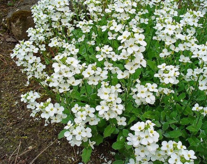 800 WHITE ALPINE ROCKCRESS Aubrieta Rock Cress Arabis Alpina Flower Seeds *Flat Shipping