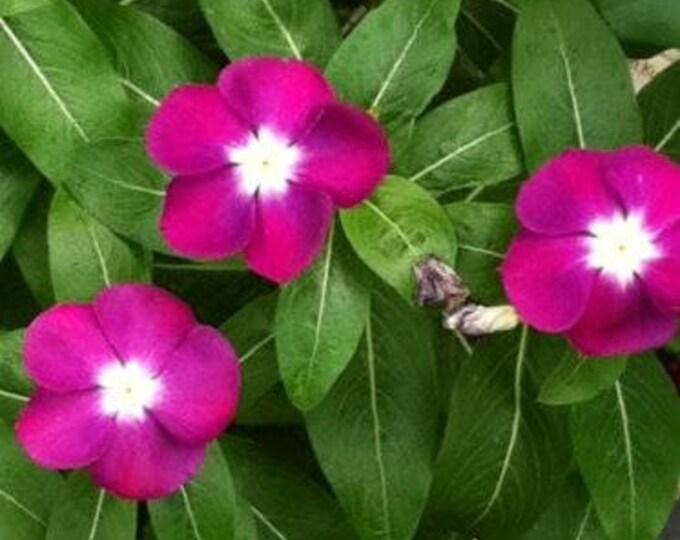 100 Pink DWARF ROSE PERIWINKLE / Vinca Rosea Flower Seeds *Comb S/H