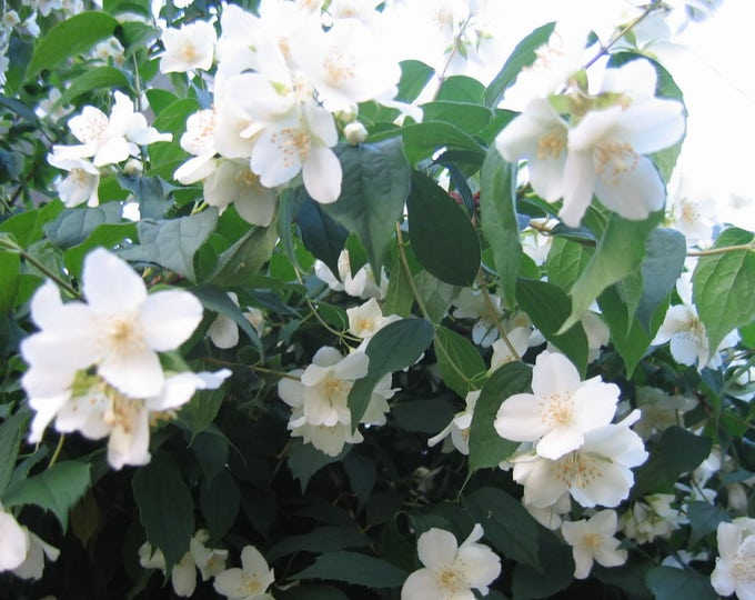 20 MOCK ORANGE Sweet English Dogwood Philadelphus Coronarius Shrub Flower Seeds *Comb S/H