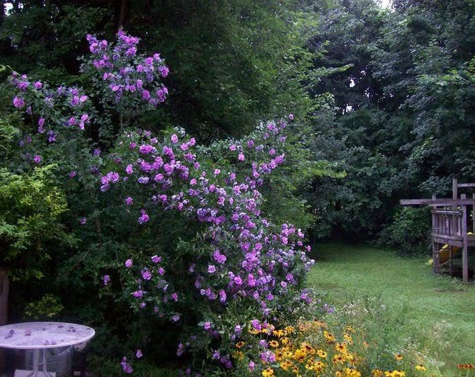 50 Purple ROSE Of SHARON HIBISCUS Syriacus Flower Tree Bush Seeds *Flat Shipping