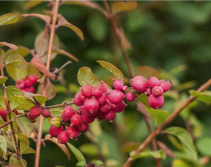 25 CORALBERRY Shrub Flower Pink Indian Currant Symphoricarpos Orbiculatus Seeds
