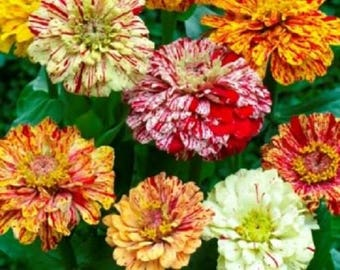 150 PEPPERMINT STICK ZINNIA Mix Mixed Colors Red Stripe Elegans Flower Seeds