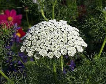 200 BISHOPS FLOWER Ammi Majus False Queen Annes Lace Seeds *Flat Shipping