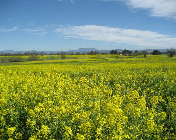 1000 YELLOW MUSTARD Brassica Juncea Vegetable Herb Seeds