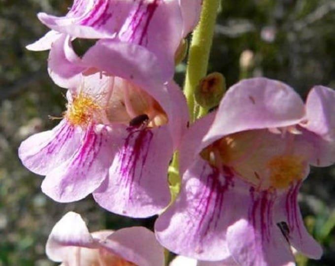 300 PALMERS PENSTEMON (Beardtongue / Balloon Flower) Penstemon Palmeri Flower Seeds