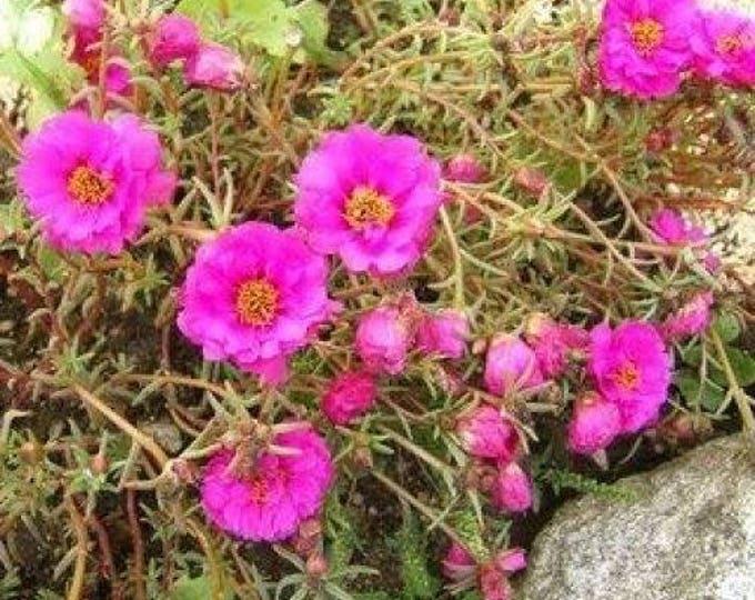 100 Pink PORTULACA Grandiflora / MOSS ROSE Flower Seeds *Comb S/H