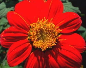 50 RED MEXICAN Torch SUNFLOWER Tithonia Rotundifolia Red Orange Flower Seeds