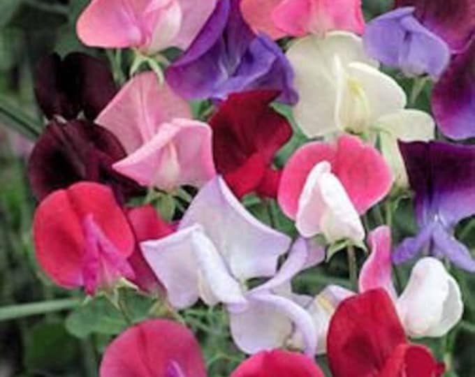 60 Mixed Colors SWEET PEA ROYAL Family Mix Lathyrys Odoratus Flower Vine Seeds