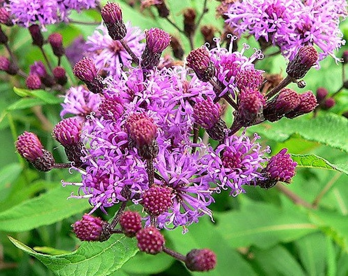 100 MISSOURI IRONWEED Monarch Flower Native Purple Vernonia Missurica Seeds