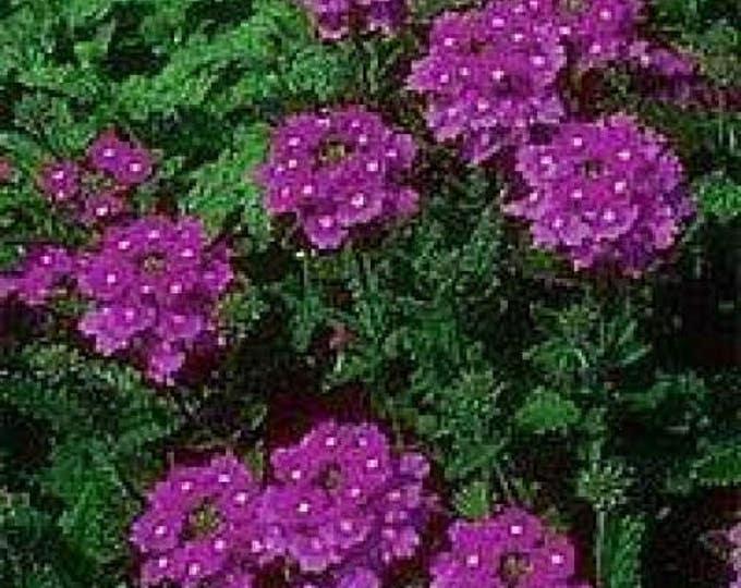500 Purple HARDY MOSS VERBENA Verbena Tenuisecta Fragrant Flower Seeds