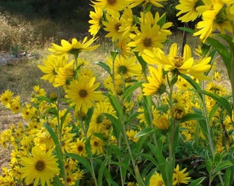 250 MAXIMILIAN (Prairie) SUNFLOWER Helianthus Maximiliani Flower Seeds