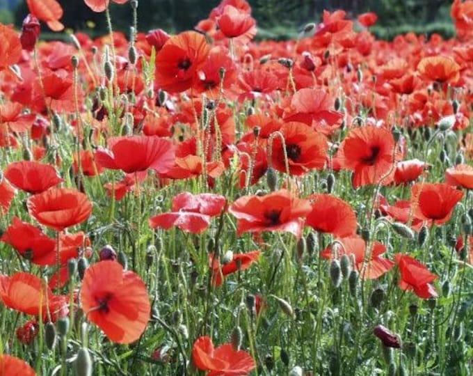 1000 Red AMERICAN LEGION (Corn / Shirley / Flanders) POPPY Papaver Rhoeas Flower Seeds